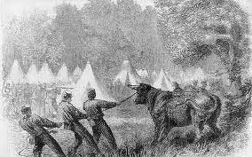 Cows in camp