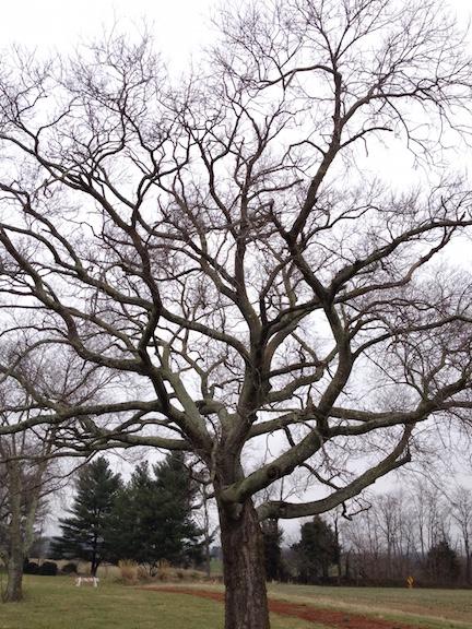 Brandy Station tree