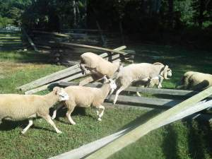Sheep Over Fence