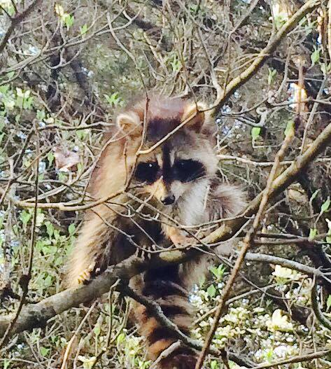 Lafleur Wilderness-racoon